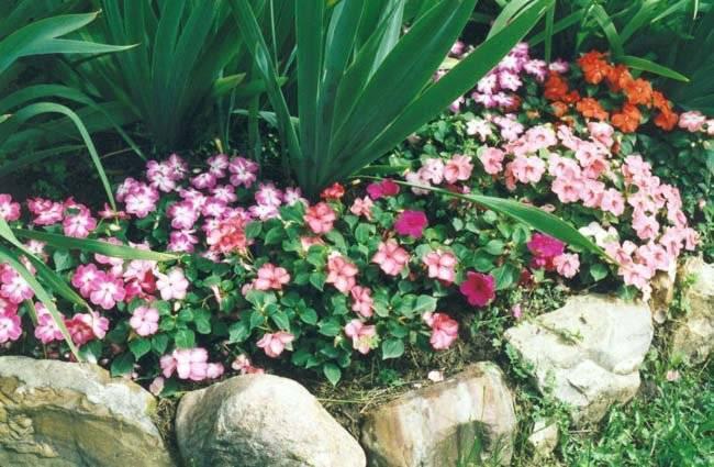 Бальзамин садовый: фото с описанием, виды цветка, особенности ухода, секреты выращивания и рекомендации специалистов