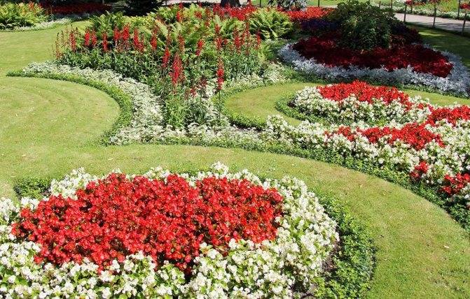 Бегония садовая — описание,особенности выращивания, посадка и уход