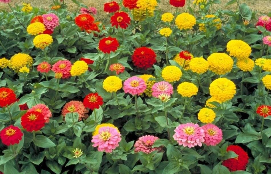 Однолетники для клумбы непрерывного цветения - раз посеял, радуют до поздней осени. | красивый дом и сад