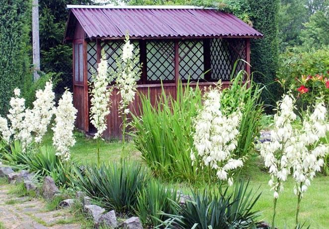Юкка садовая: описание, фото, размножение, посадка и уход за цветком