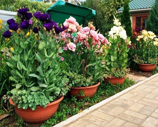 Эустома белая (28 фото): сорта лизиантуса, махровый цветок «алиса» и «розита» с фиолетовым краем