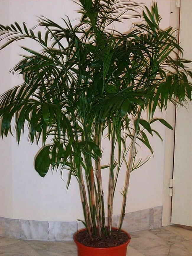 Лучшие виды комнатных декоративных пальм