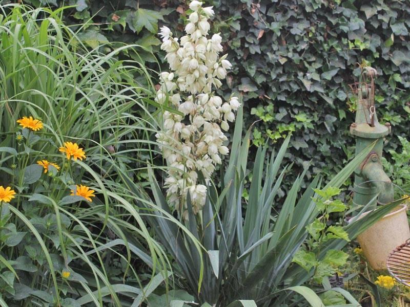 Юкка: 140 фото декоративного растения и особенности ухода за ним