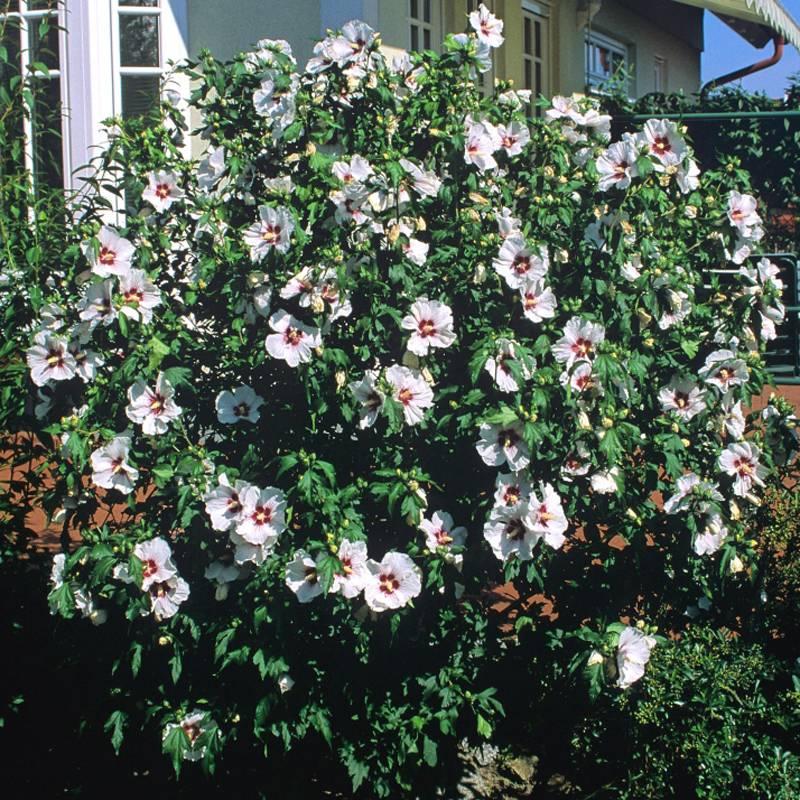 Древовидный гибискус садовый - посадка и уход в открытом грунте, сорта и размножение