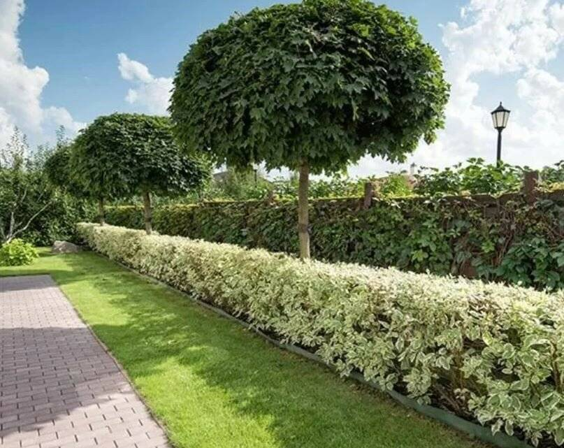 Живая изгородь из пузыреплодника: как сделать густой и красивый забор