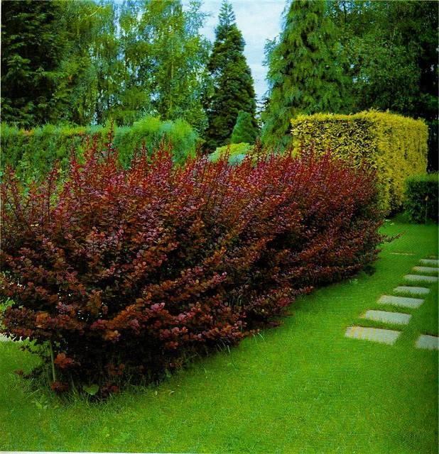 Живая изгородь: топ-15 лучших растений из чего сделать живую изгородь