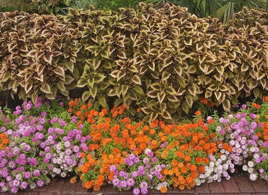 Колеус в саду и дома: посадка, размножение, уход | good-tips.pro