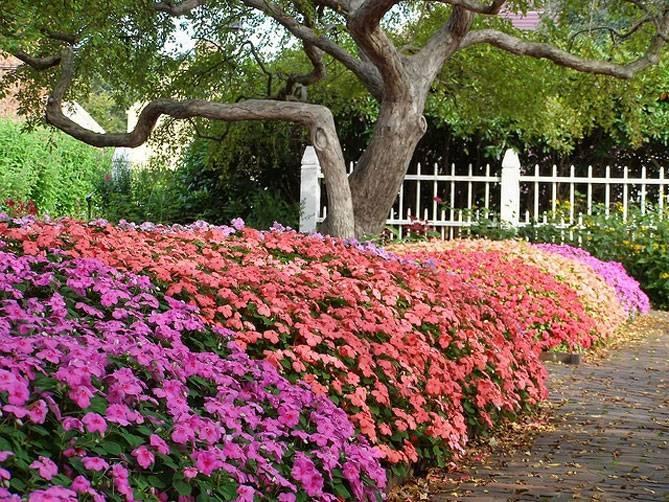 Правильная посадка садового бальзамина в открытый грунт и секреты ухода за ним. советы садоводов