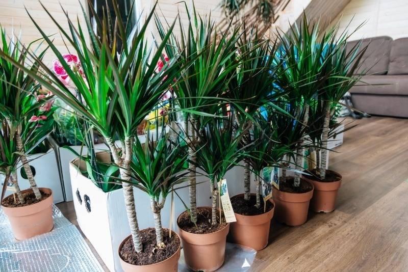 Комнатная пальма: виды, названия, правила ухода и фото