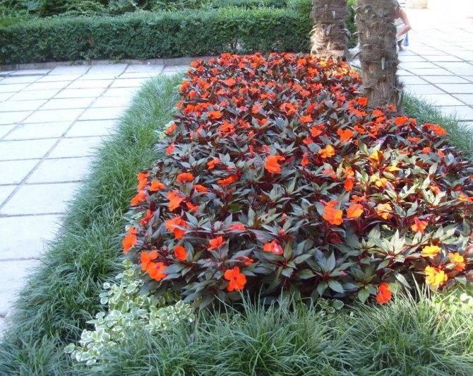 Бальзамин многолетний и однолетний: посадка садового цветка и уход за ним, а также вид на фотодача эксперт