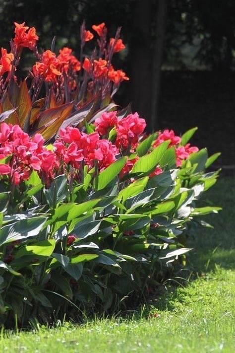 Пышная красавица в вашем саду: канна — посадка и уход в открытом грунте