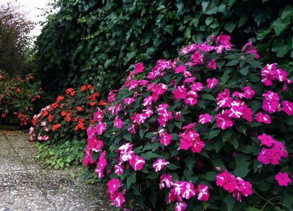 Бальзамин садовый: посадка и уход, фото цветка, выращивание недотроги из семян, а также как сохранить зимой selo.guru — интернет портал о сельском хозяйстве