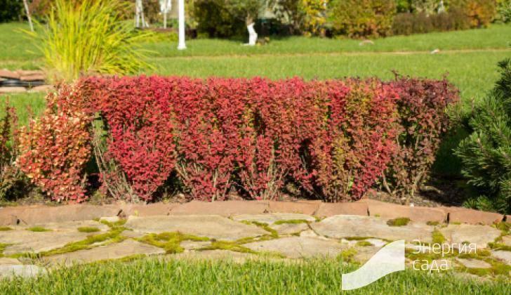 ᐉ барбарис коронита в дизайне сада фото, berberis thunbergii coronita - zoo-mamontenok.ru