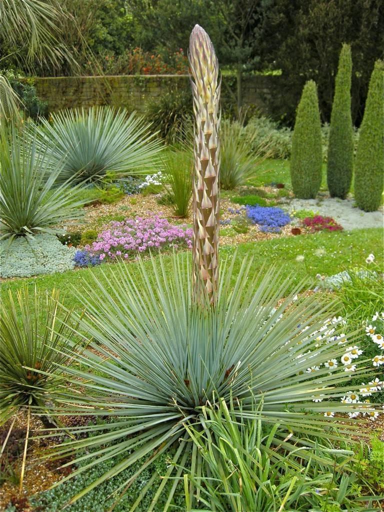 Юкка садовая посадка и уход фото, сорта, болезни, зимовка