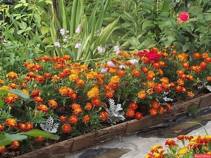 Как посадить бархатцы. идеи клумбы из бархатцев и секреты посадки на рассаду.   красивый дом и сад