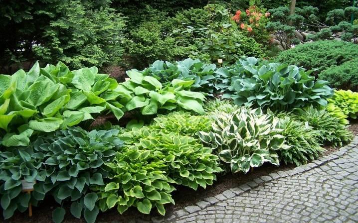 Хосты в саду или ландшафтные хитрости