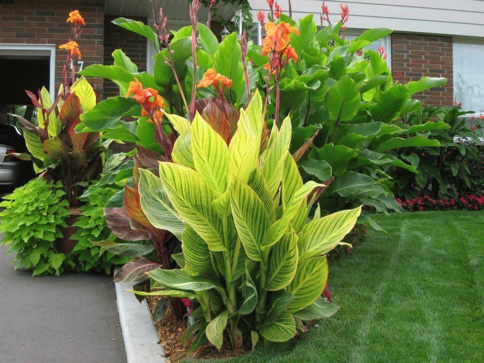 Цветок канна посадка и уход в домашних условиях, фото и видео