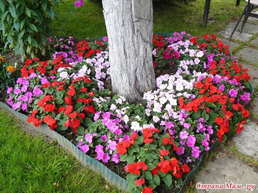Бальзамин комнатный и уличный (51 фото): уход в домашних условиях, садовый на клумбе, как выглядит белый многолетний, видео