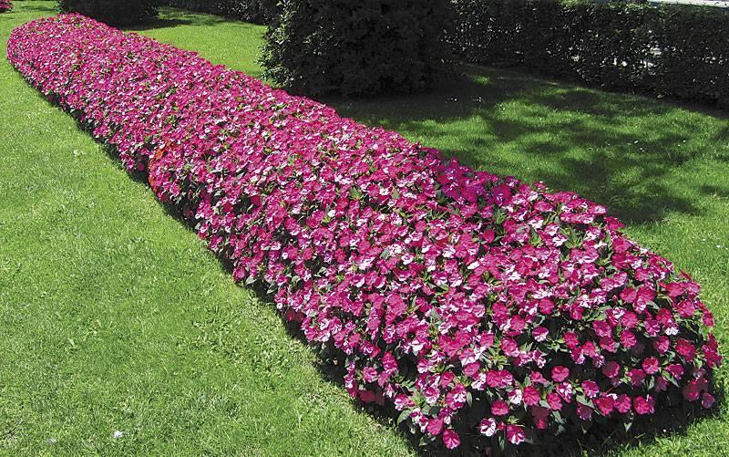 Бальзамин садовый: фото с описанием, виды цветка, особенности ухода, секреты выращивания и рекомендации специалистов - sadovnikam.ru