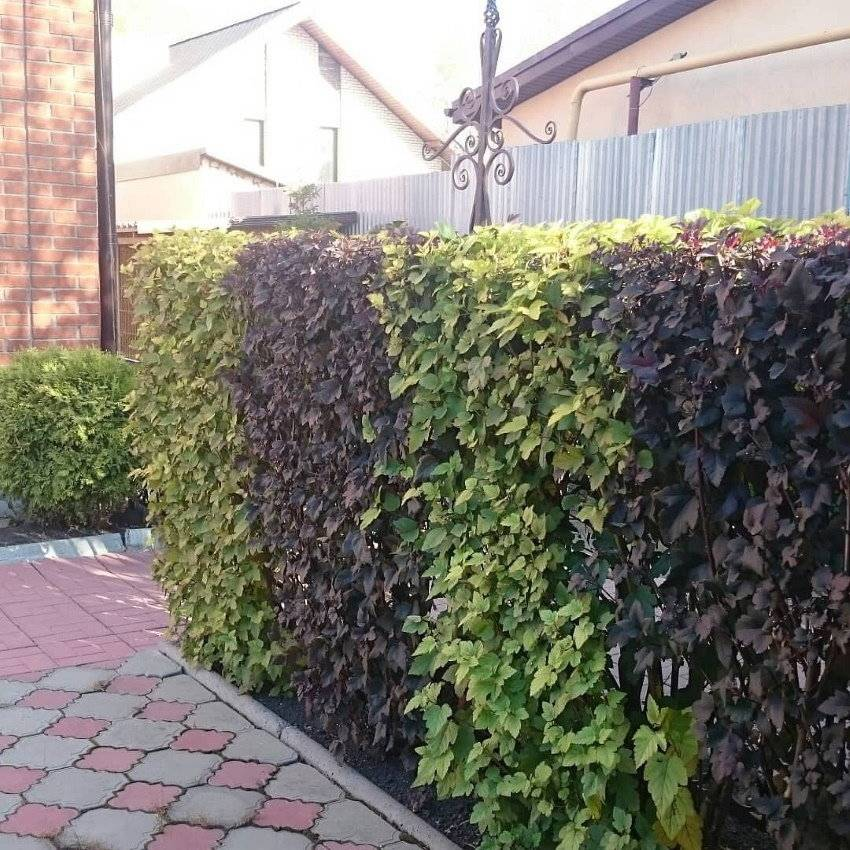 Живая изгородь на даче своими руками: посадка и уход