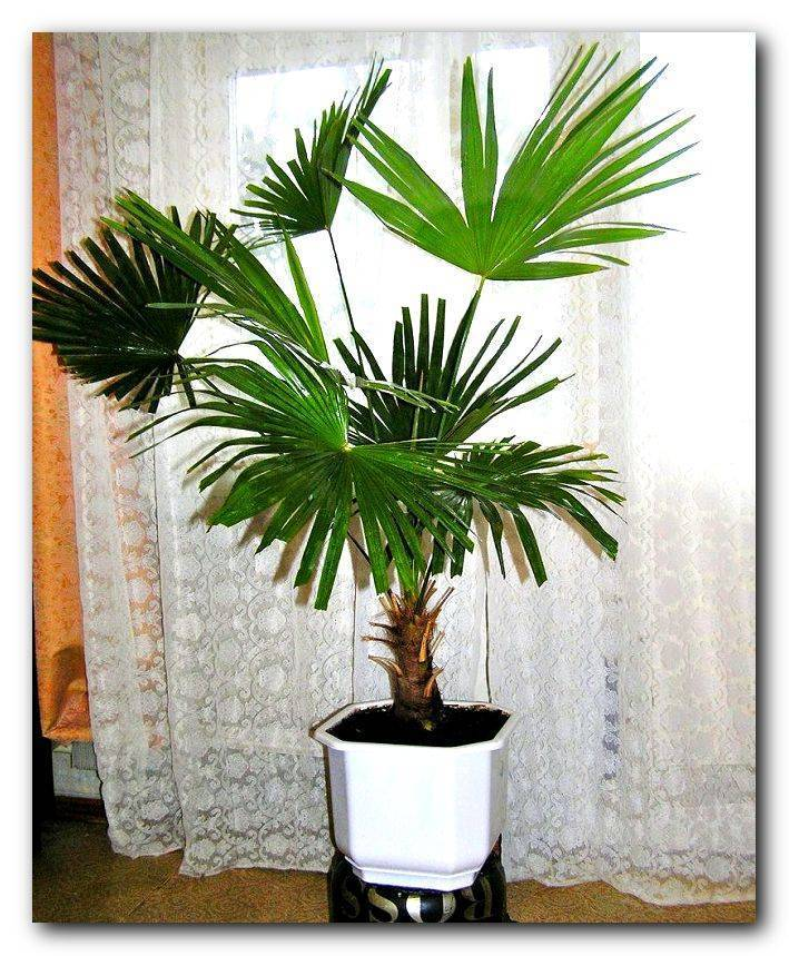 20 самых эффектных разновидностей домашней пальмы с названиями и фото