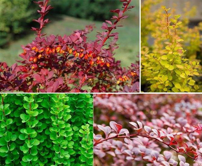 Живая изгородь из барбариса: красивое ограждение при минимуме затрат. фото