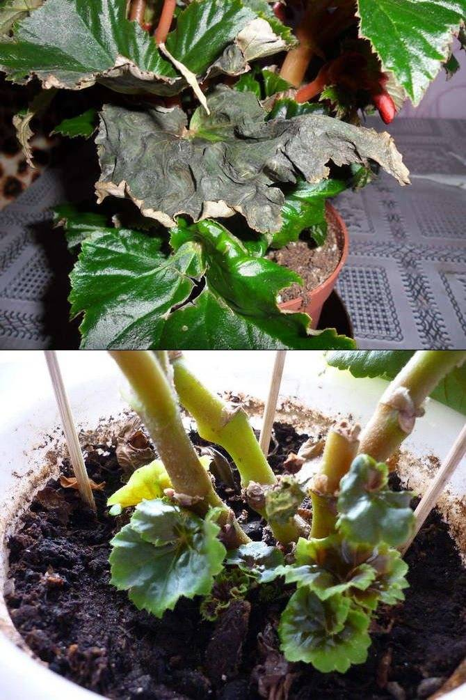 Бегония садовая – посадка и уход