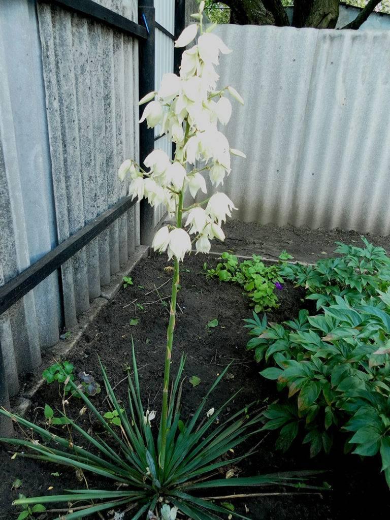 Юкка садовая: уход в домашних условиях и на открытом воздухе (фото). как правильно выбрать место произрастания, посадить и размножить растение