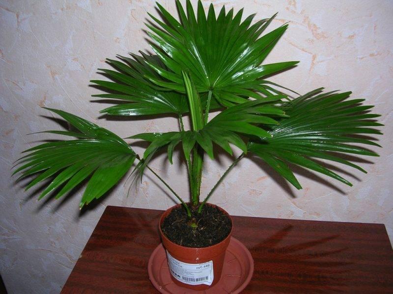 Комнатные пальмы: фото и название   home-ideas.ru