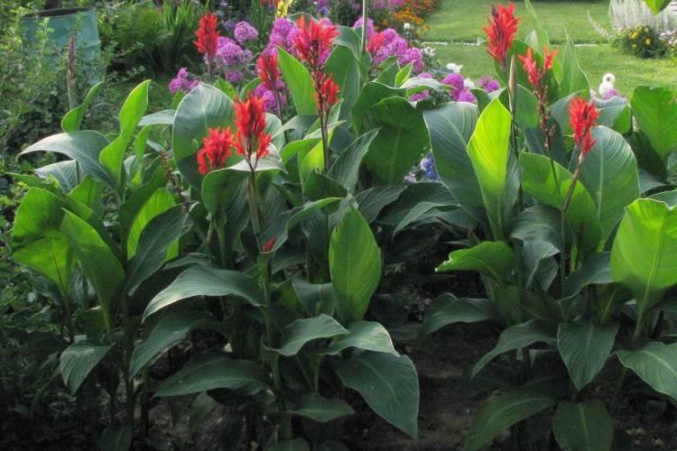 Канна – крупное декоративное растение: описание, посадка и уход в открытом грунте и в домашних условиях (70+ фото & видео) +отзывы