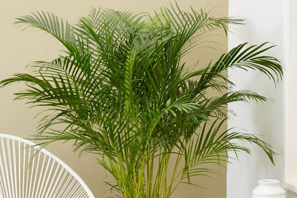 Пальмы комнатные, разновидности и уход за ними