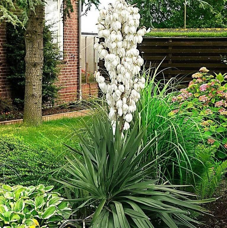 Юкка садовая: фото, посадка и уход в открытом грунте, размножение цветка, отзывы, популярные сорта и виды