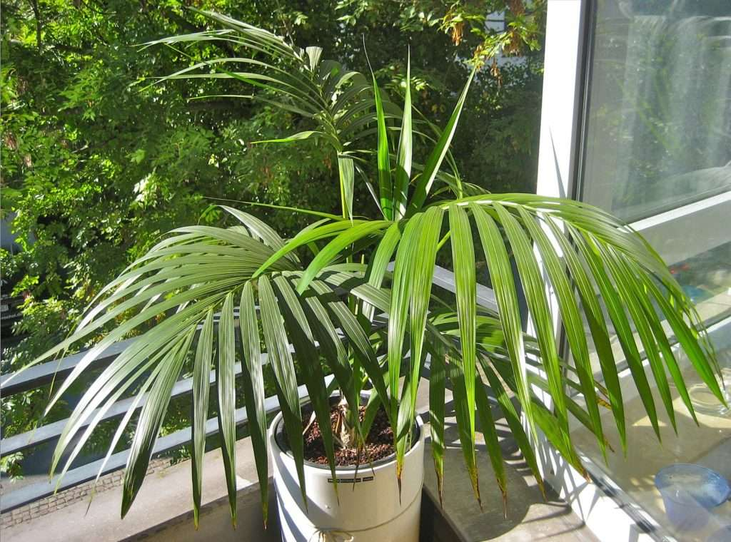 Комнатная пальма: фото и названия видов, как ухаживать