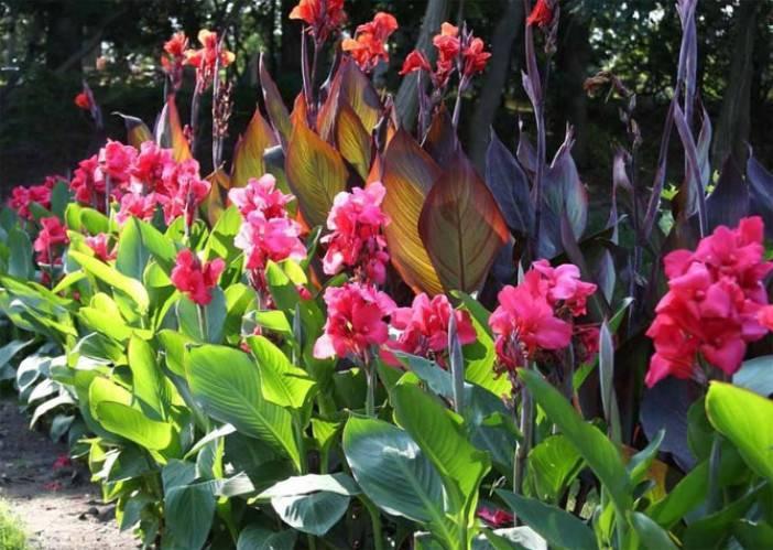 Канна: посадка и уход за растением в открытом грунте