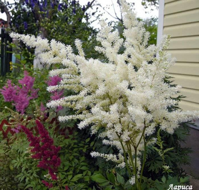 Сад в пестрых красках: цветущие все лето многолетние декоративные кустарники для украшения дачного участка