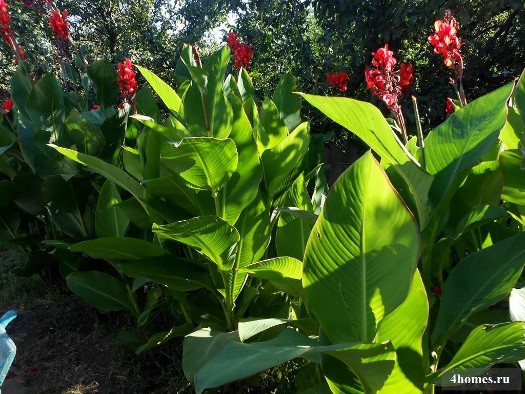 Канна - посадка и уход в открытом грунте, простые правила выращивания