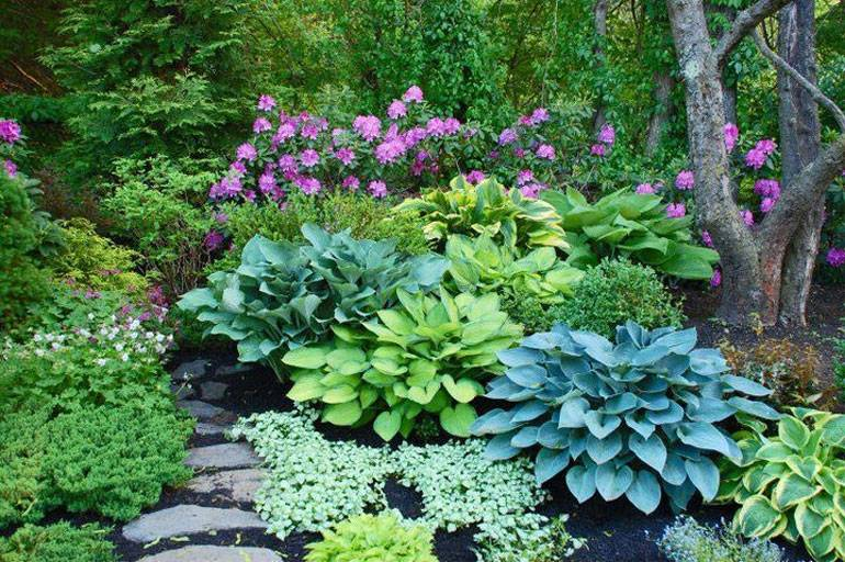 Хосты в ландшафтном дизайне: фото с идеями оформления клумб, рокариев и альпинариев в саду