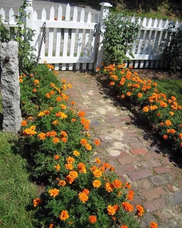 Бархатцы в саду. красивые клумбы из бархатцев. 9 фото - обустройство загородного дома и участка своими руками