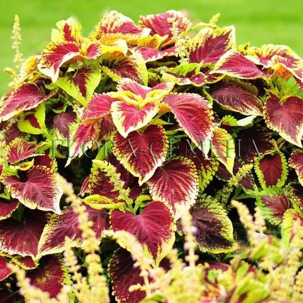 Колеус: яркие идеи и рекомендации как правильно применять растение (100 фото и видео)
