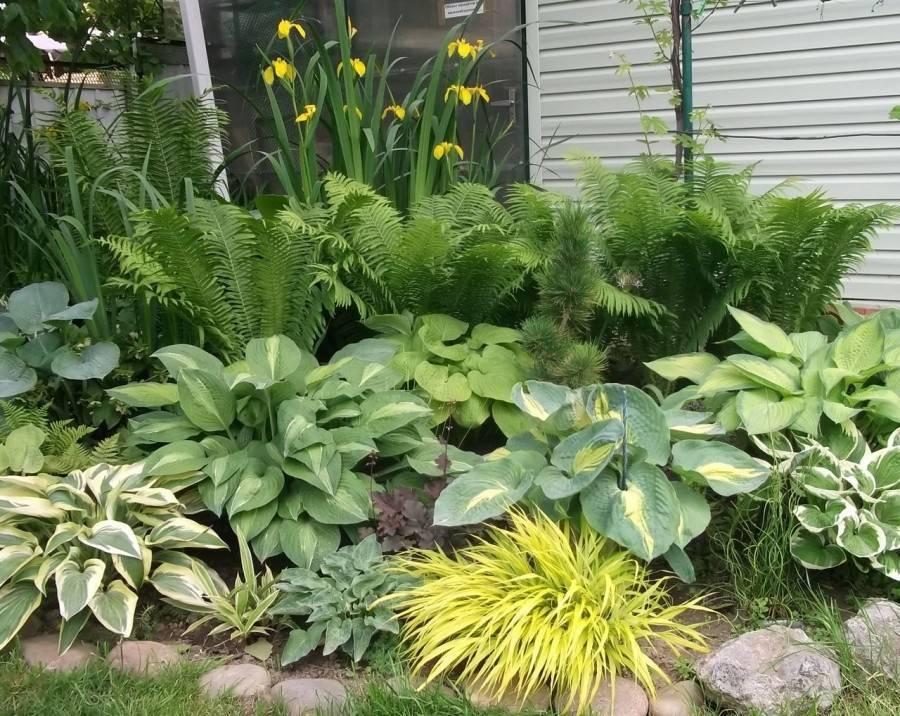 Ландшафтные хитрости и тонкости: клумбы с хостой в саду