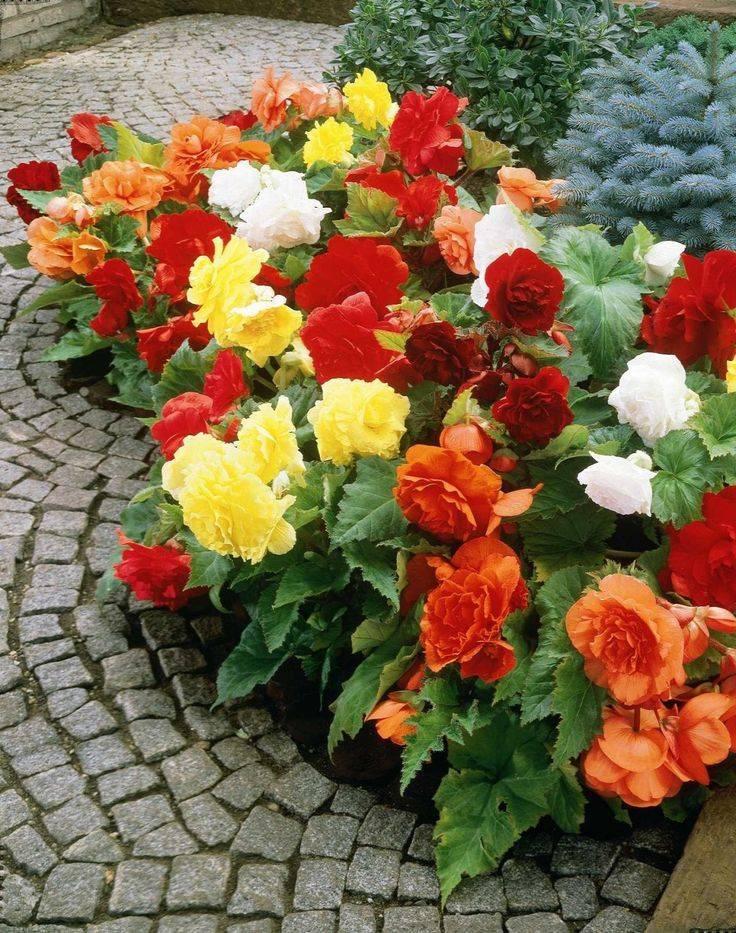 Бегония садовая: описание травянистого растения, фото уличного цветка, посадка, выращивание и уход в открытом грунтедача эксперт