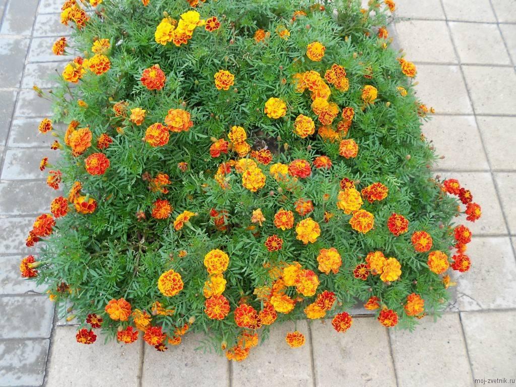 Цветы бархатцы и дизайн сада. - огородные дела