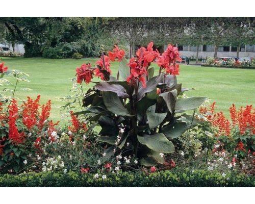 Когда высаживать канны в открытый грунт весной и как правильно хранить корневища - цветочки - медиаплатформа миртесен