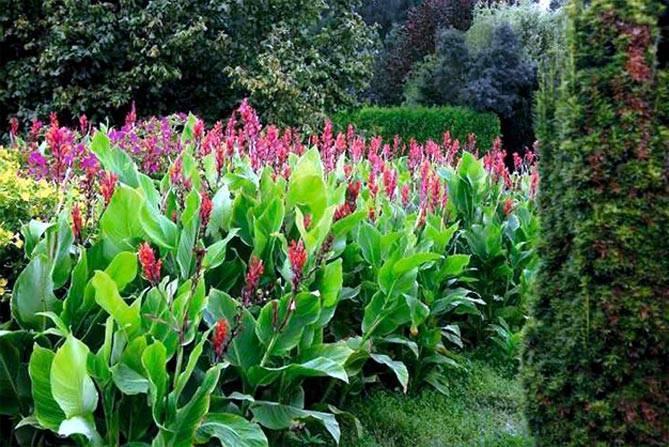 Канна фото цветка, посадка и уход, выращивание домашних канн