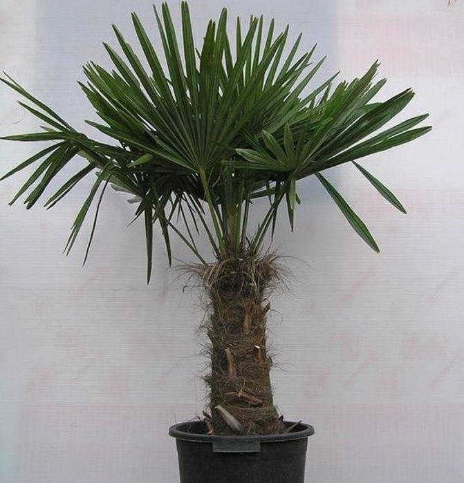 Разновидности домашней пальмы: фото, описание и правила ухода