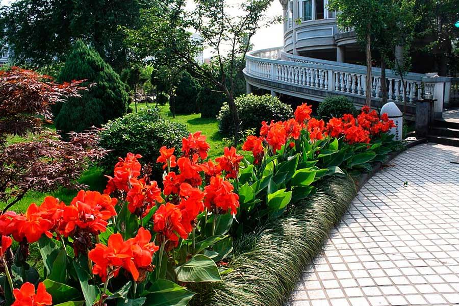 Канны: посадка и уход в открытом грунте, выращивание в саду, сорта