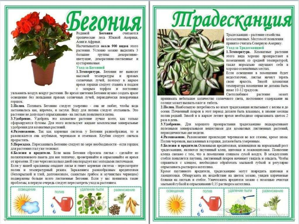 Бегония: уход в домашних условиях, фото, обрезка, пересадка - sadovnikam.ru