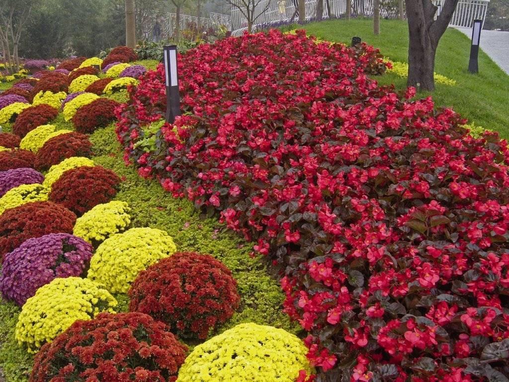 Бегония садовая: грамотное выращивание уличной культуры в саду, посадка травянистого растения в открытый грунт семенами, уход за ним, а также фото цветов русский фермер