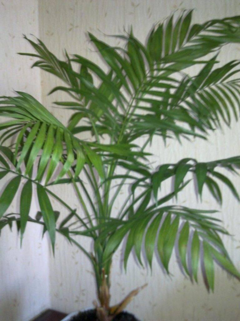Пальма домашняя: названия и разновидности, уход, фото