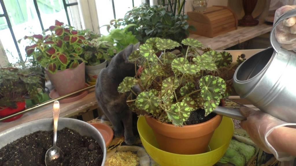 Бегония вечноцветущая - уход в домашних условиях, посадка, грунт, размножение